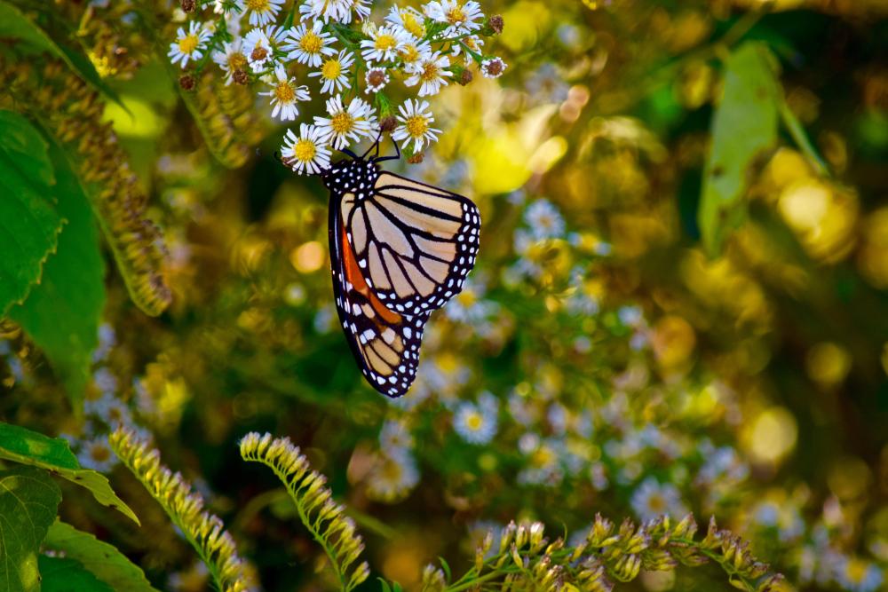 lake-guntersville-alabama-monarch-butterflies