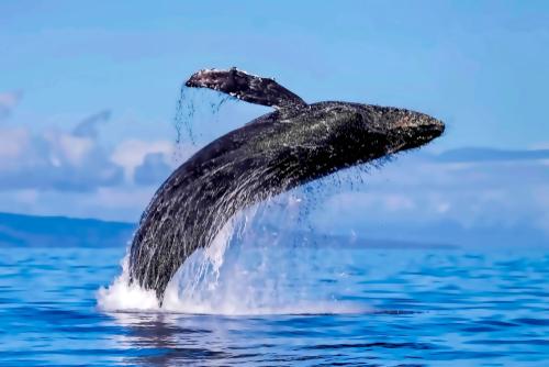 humpback-whale-lahana-maui