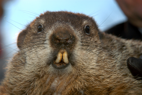 punxsutawney-phil-groundhog-facing-forward