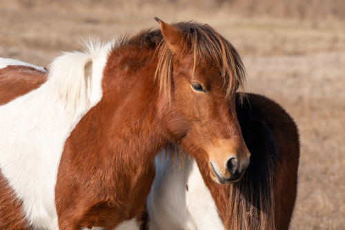 chincoteague-pony