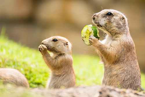 prairie-dog-adult-young-eating