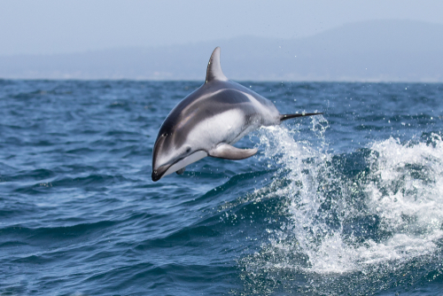 pacific-white-sided-dolphin