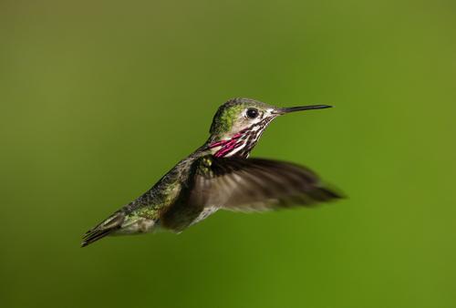 calliope-hummingbird