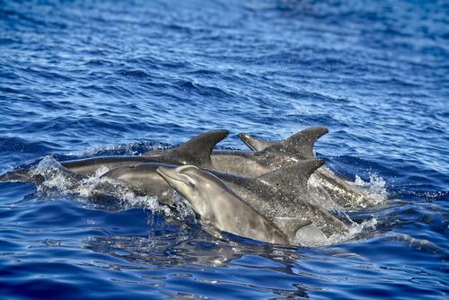 dolphins-atlantic-ocean