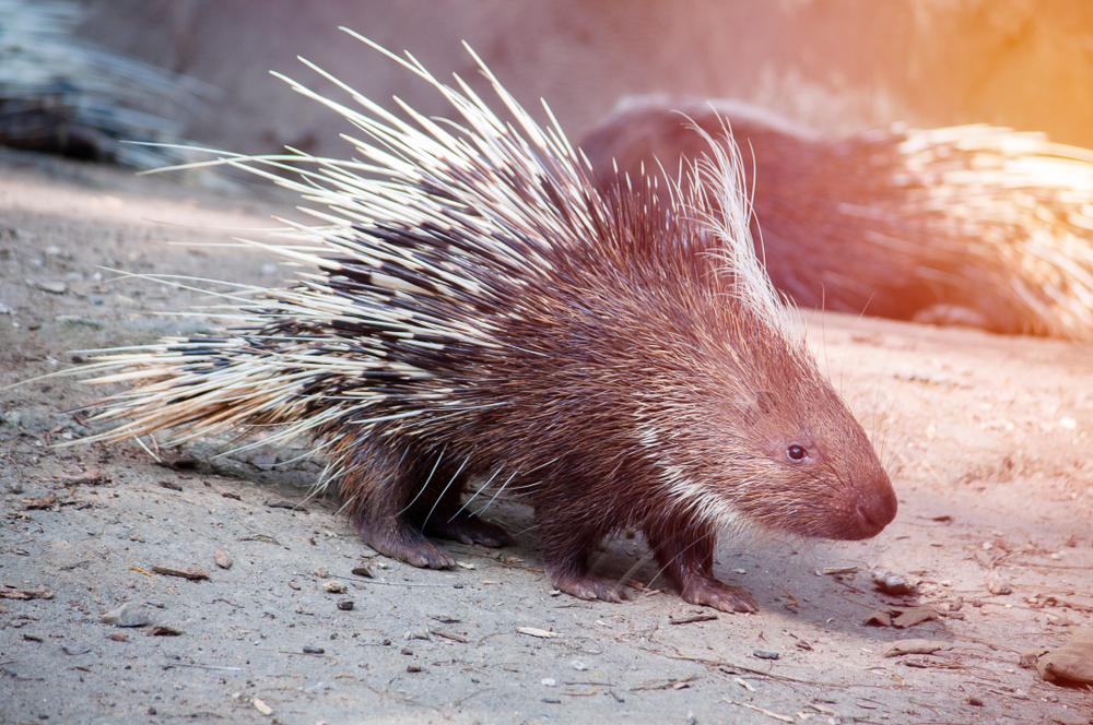 porcupine-in-zoo